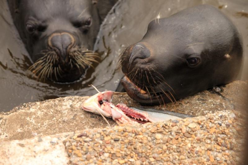Seelöwen im Hafen
