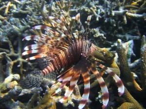 Feuerfisch, Rantee Bay, Koh Phi Phi