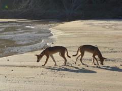 reine Dingos auf Fraser Island auf dem Festland gibt ex keine echten Dingos mehr da viele mit Wildhunden vermischt sind