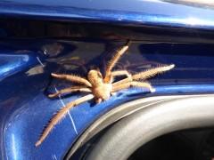 Fette Spinne in der Autotür