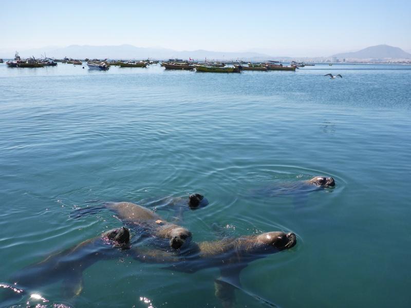 Im Hafenbecken bekamen wir Besuch von Seelöwen Lobos del mar-Touren mit Booten werden in ganz Argentinien und Chile angeboten...wir fanden sie hier umsonst ;)