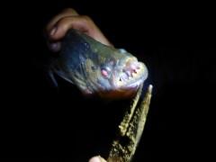 Piranhaaa