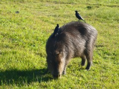 Das dicke, fette Wasserschwein