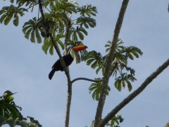 Tukan im Pantanal