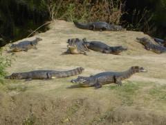 Kaiman-siesta im Pantanal