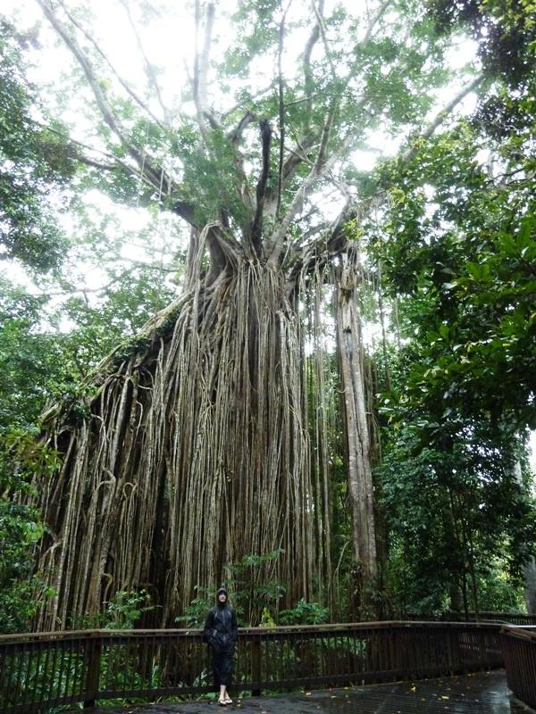 Curtain Fig Tree (500 Jahre alt!!)
