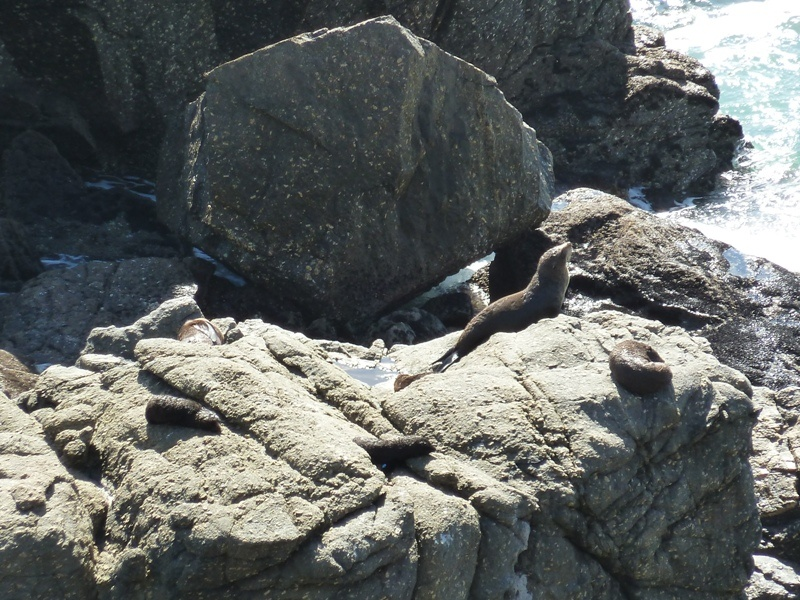 "Seal Colony, Naehe ""Tauranga Bay"" bei Cape Foulwind"