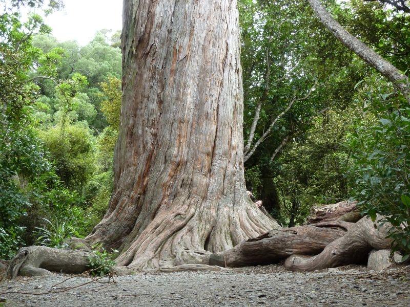 """1000 Jahre alter Baum am """"Big Tree Walk"""", Peel Forest"""