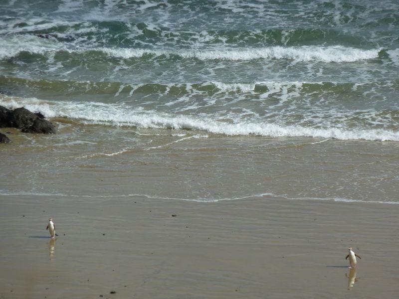 """...die ersten Heimkoemmlinge :), Roaring Bay an der """"Catlins Coast"""""""
