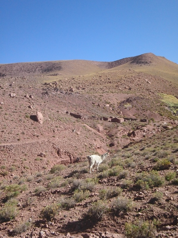 Lamas der Dorfbewohner