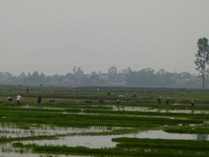 Reisfelder werden bestellt