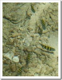 Tigerentenfische