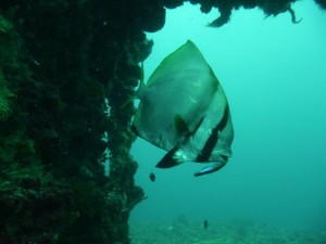 a batfish is getting clean