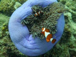 my darlings - Anemone fishes (clownfishes)