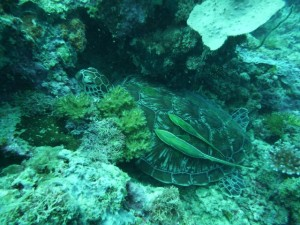 a sleeping green turtle with two sharksucker on it