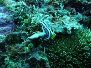 a pyjama nudibranch