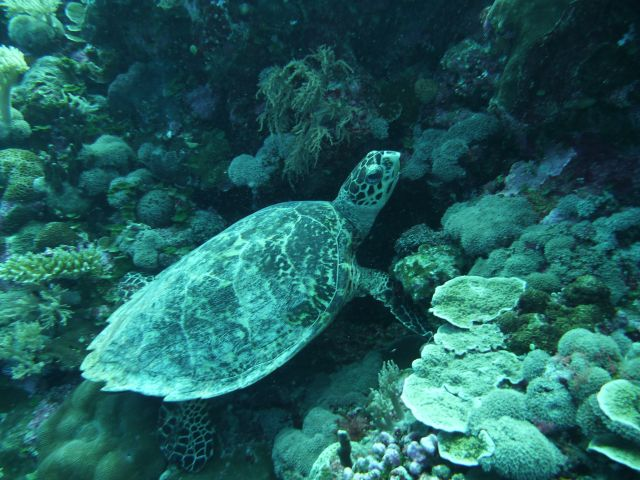 a hawksbill turtle - Karettschildkröte