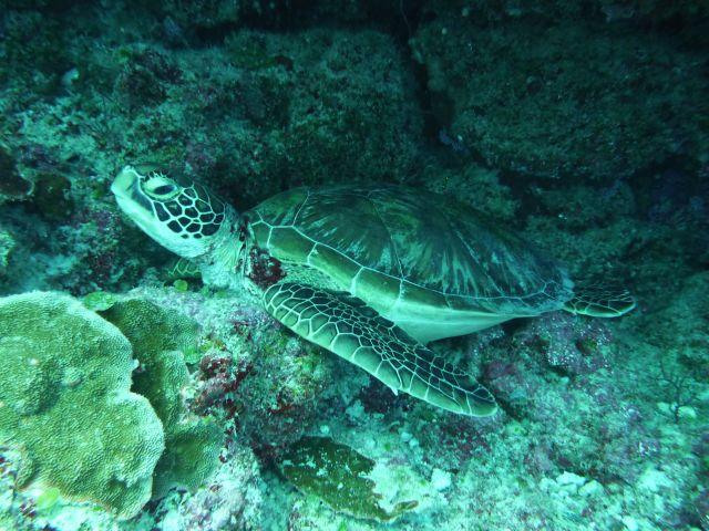 green turtle - Suppenschildkröte