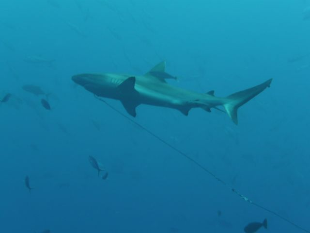 a grey reefshark on a hook