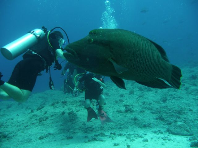 very tamely Napoleon Wrasse, also at the blue corner dive spot