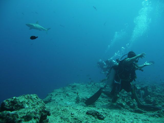 that´s how divers are hooked on the reef at blue corner while passing grey reefsharks