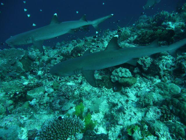 Whitetip-Reefsharks