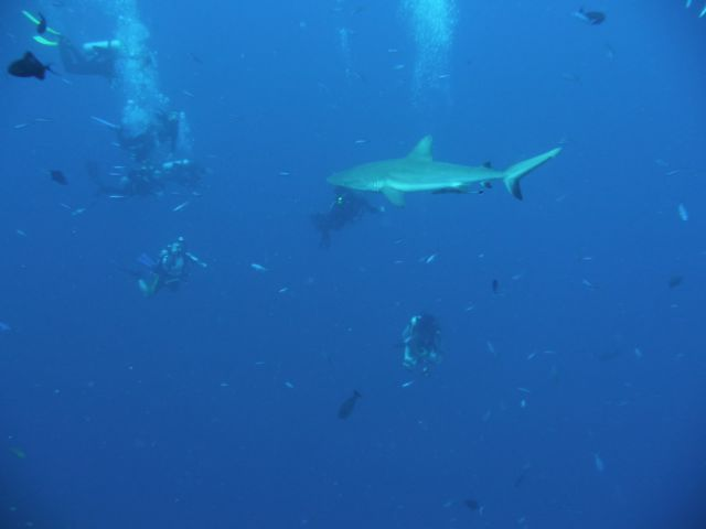a grey reefshark between the divers