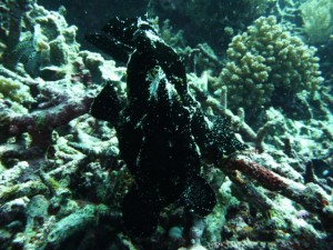 a beautiful big black frogfish