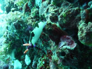 a nudibranch again