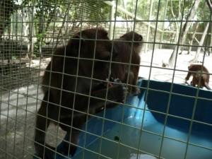 playing chimpanzees kids