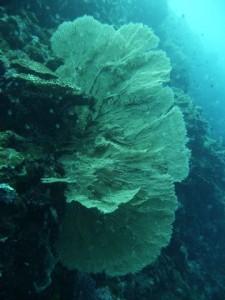 amazing big unbroken gorgonias