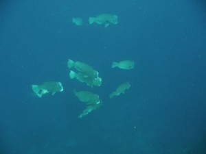 humphead parrot fishes