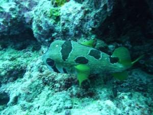 a mask porcupine fish