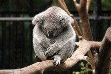 Koala-frierend