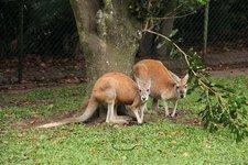 RoteKänguruhs