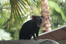 TasmanischerTeufel