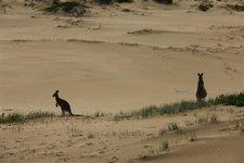 Wüstenkänguruh