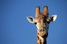 Cul-Giraffe