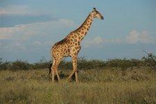 Et-Giraffe2