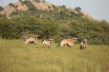 Et-Oryx