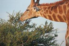 Giraffe-Akazie