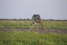 Giraffe-Wasserloch