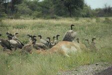 Kalahari-Geier