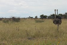 Kalahari-Strauße