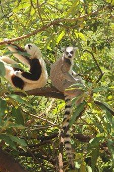 Maki-Lemur2