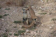 Okau-Erdhörnchen