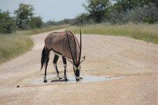 Oryx-Pfütze