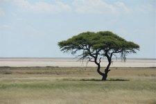Salzpfanne-Baum