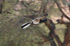 Spitzkoppe-Nashornvogel