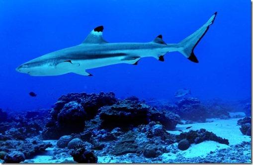 Blacktip reef shark - internet